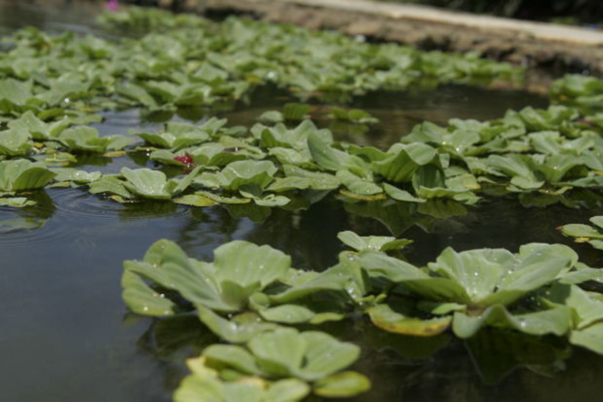 Floating plants are an ornamental addition to aquariums. Water lettuce is an aquatic plant that conveniently removes nitrates from a substrate-free tank.