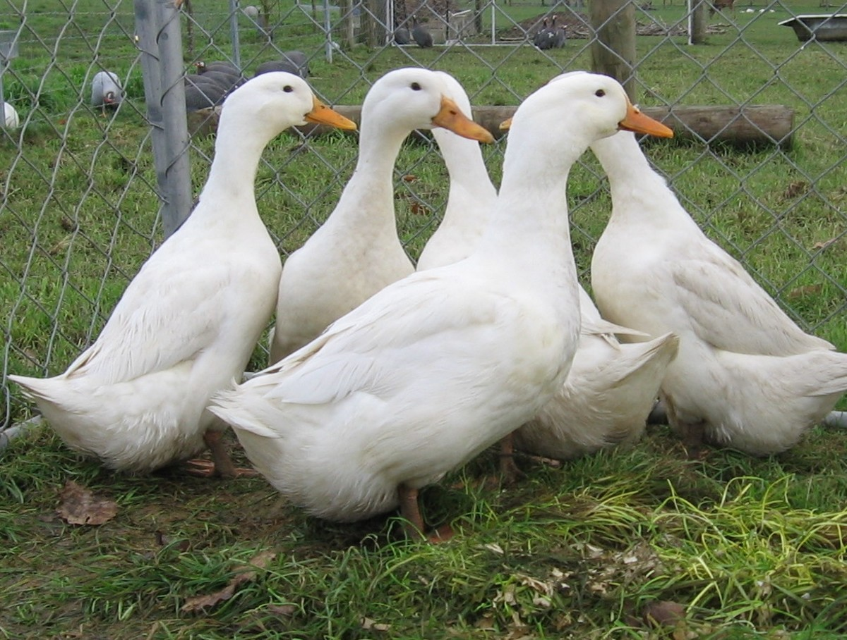 Typical Grimaud Hybrid Pekins