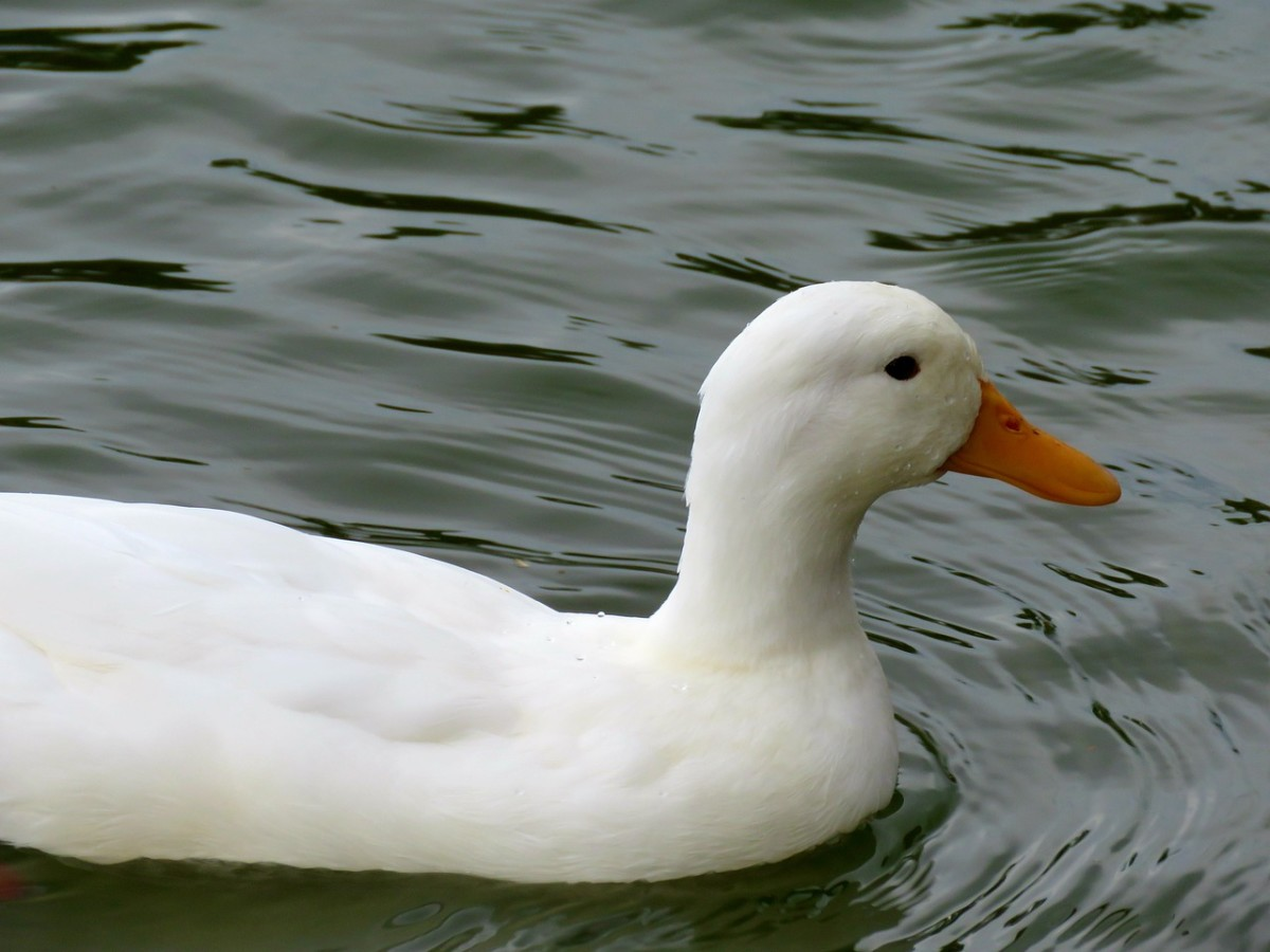 Everything You Need to Know About Pekin Ducks