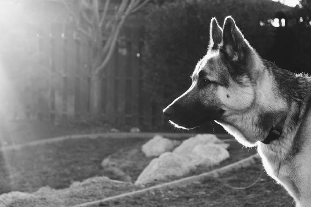 German Shepard (Type of dog shown on 'Dog Dean Afternoon' episode)