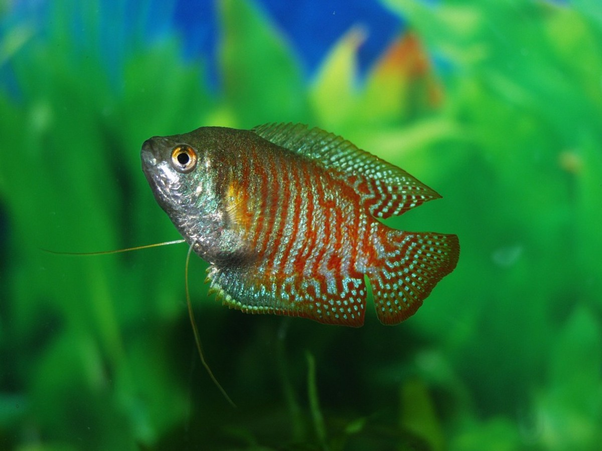 The ever popular Gouramis also develop the condition.