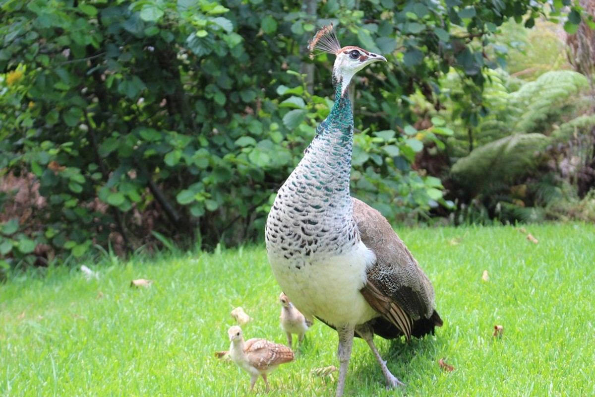 The peahen is also a good-looking bird, despite that males are preferred as ornamental birds.