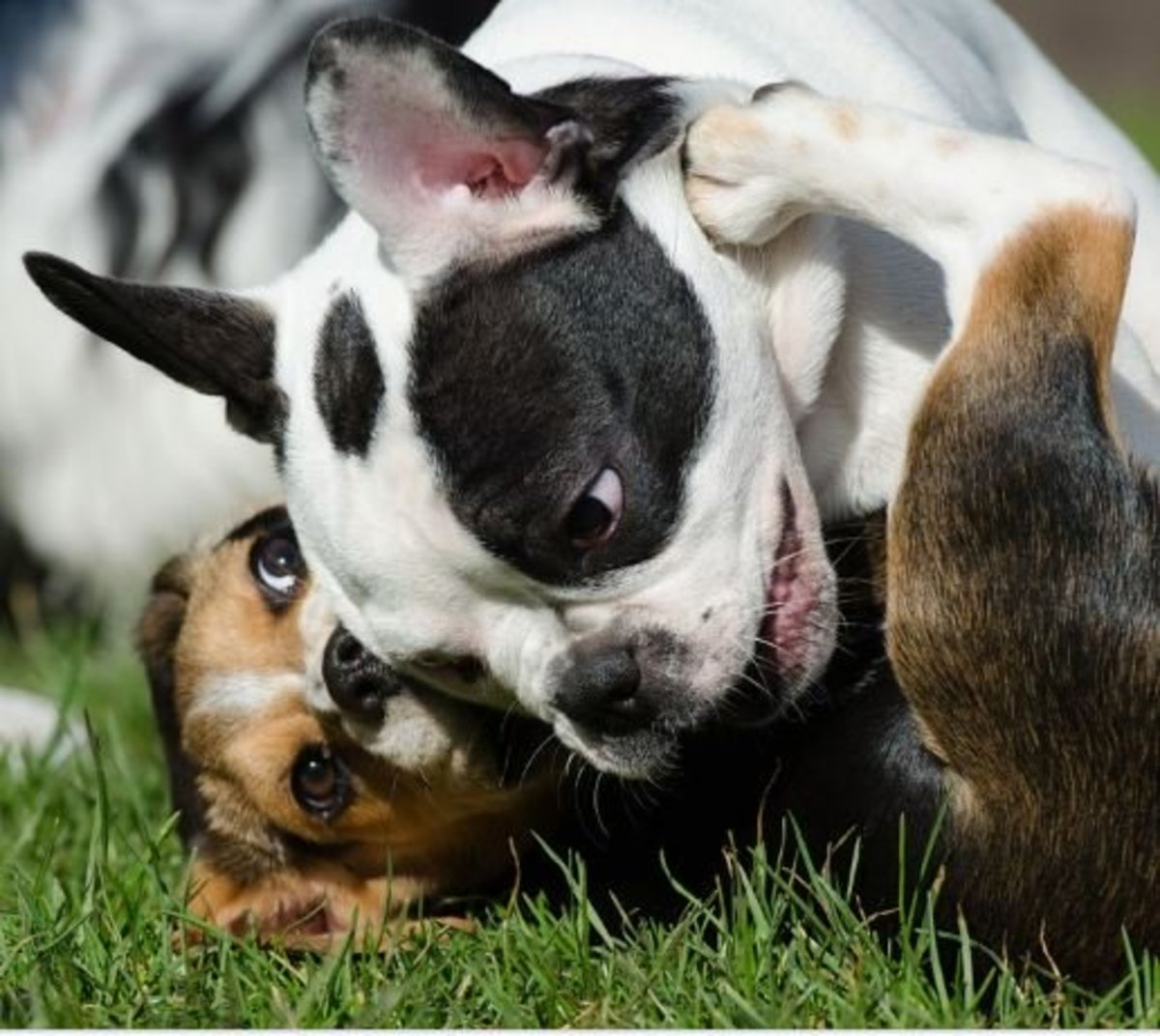 Puppies tend to play rough with one another.