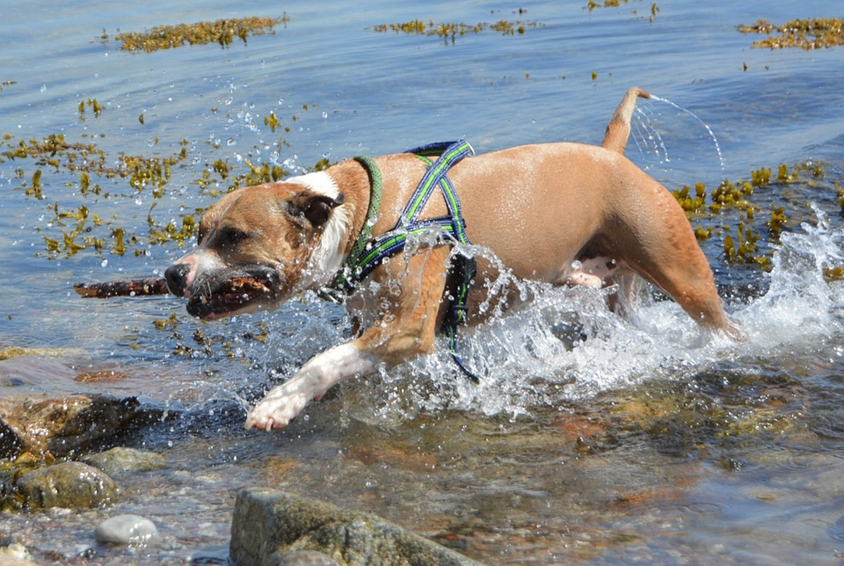 Pit bulls cannot be idle all day long. They do best when they participate in the family's day and activities.