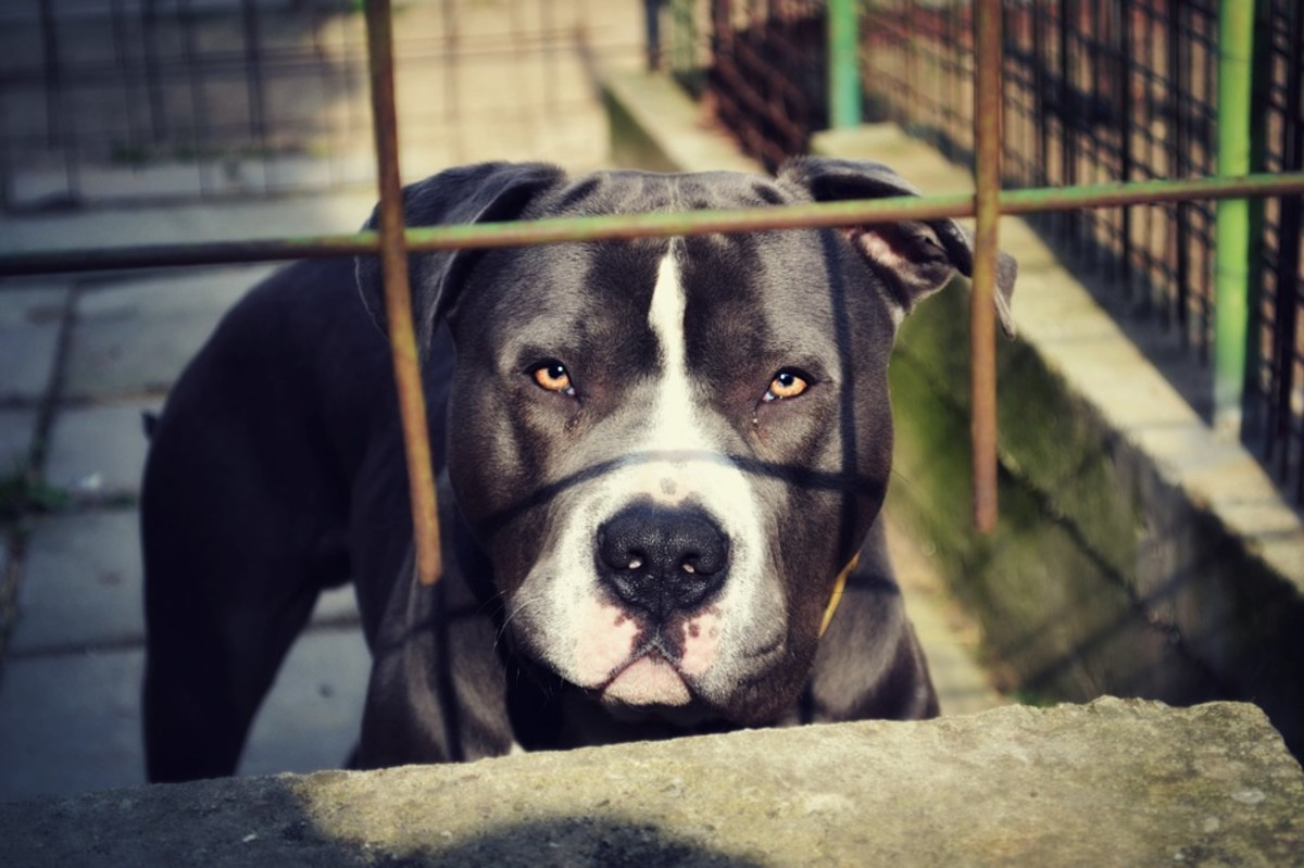 Owners of the breed are in love with pit bulls' intense look, but others often find it intimidating.