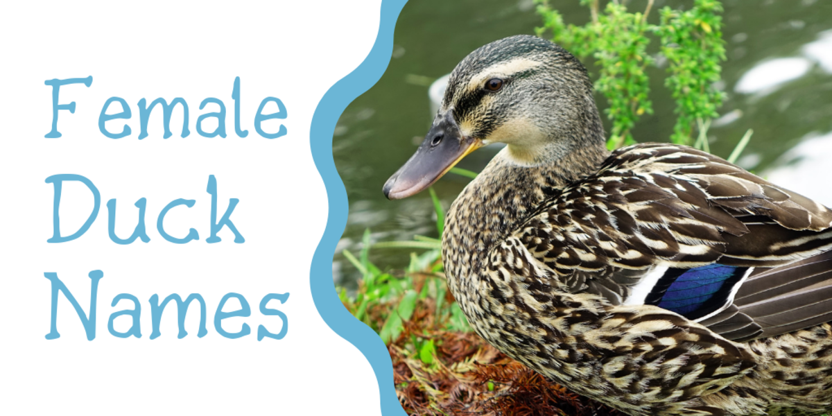 250+ Duck Names for Your Feathered Friend (From Aflac to