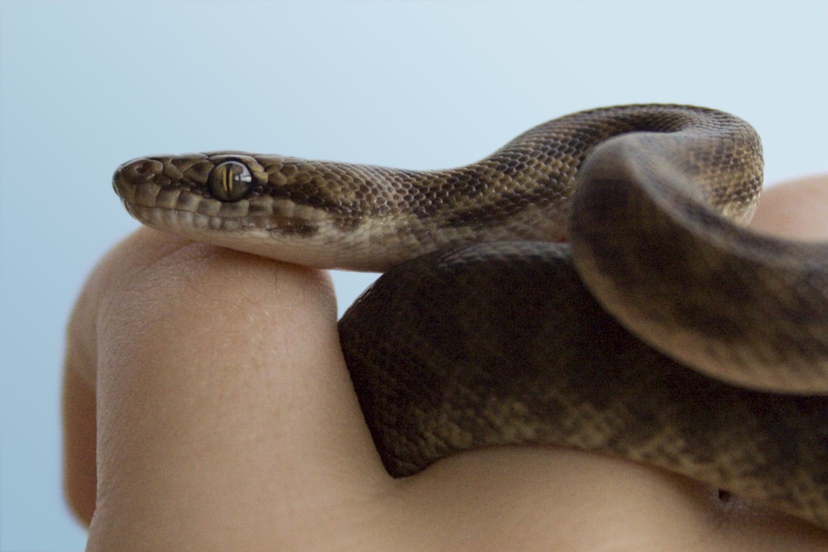 Children's python (Antaresia childreni)