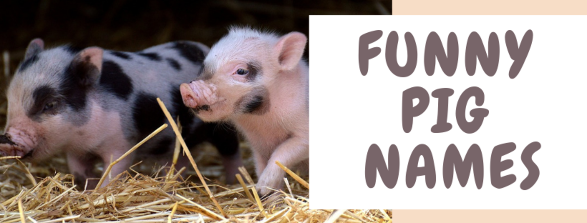 250+ Pet Pig Names for Your Little Piglet (From Albert to