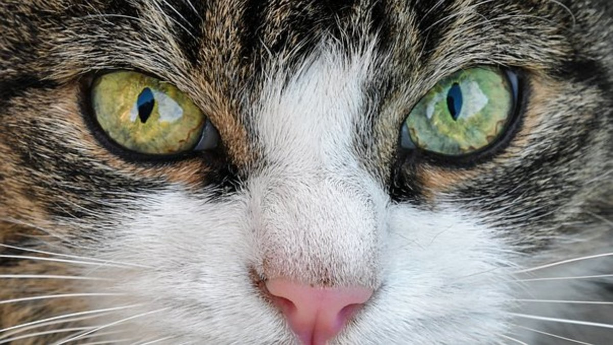 This serious cat could make a good Kame or Keri.