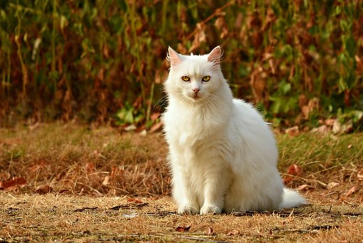 This white cat could hold the mantle of Napi well.