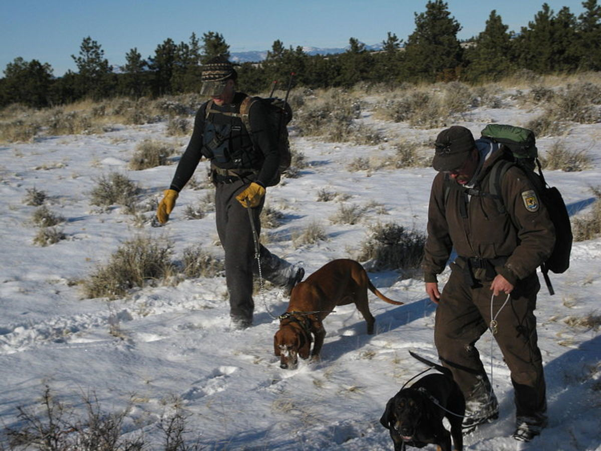 Tracking dogs often work in teams, using visual clues, rather than scent, to find their quarry