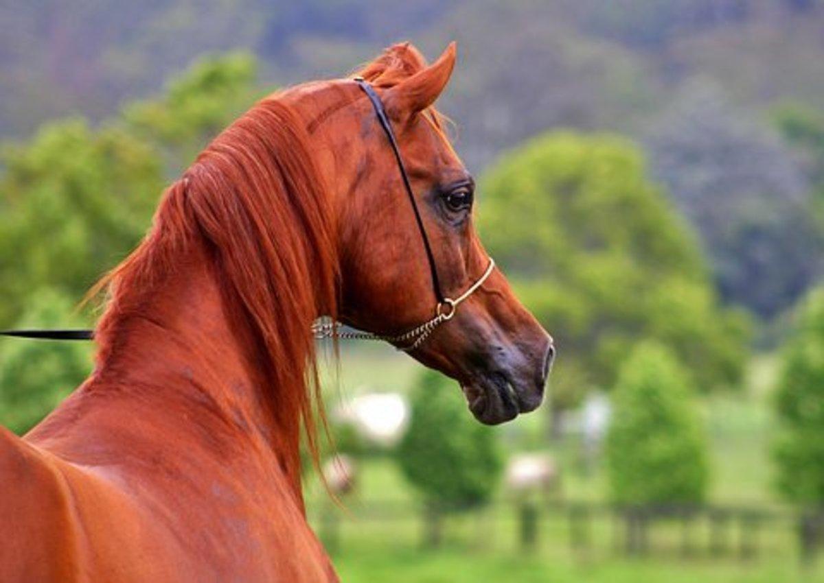 This flashy chestnut Arabian would make a perfect Niran.