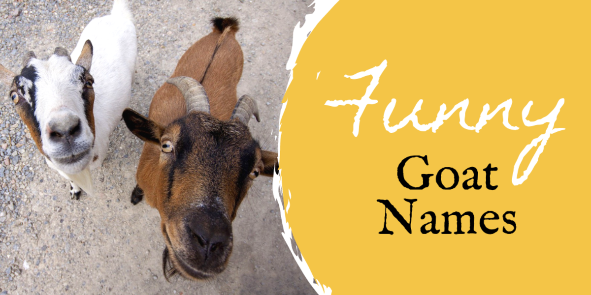 350+ Pet Goat Names for Your New Goat (From Angus to Waffles