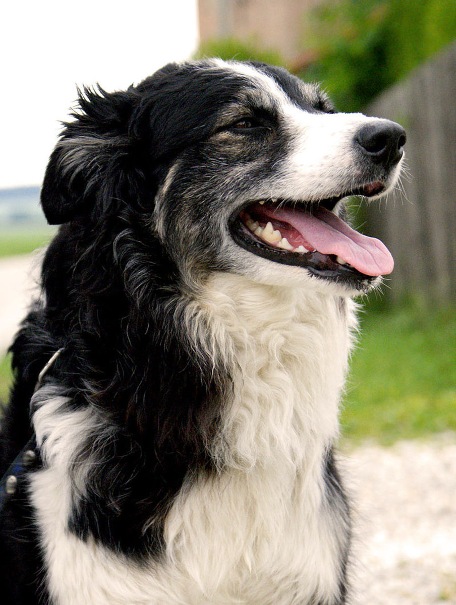 The Border Collie is among the most charming and adaptable of all the working dogs