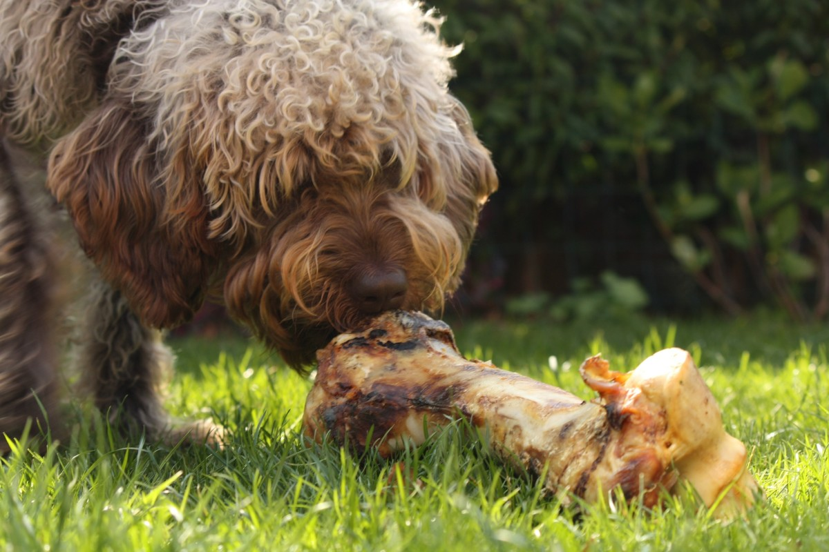 A marrow bone can be a good occasional treat for an adult dog, helping to keep his gums and teeth healthy, and keep him occupied