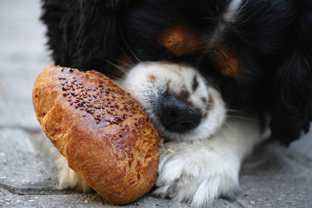 Table scraps and leftovers can harm your dog. Bread, chocolate, sugary food, and cheese should always be avoided