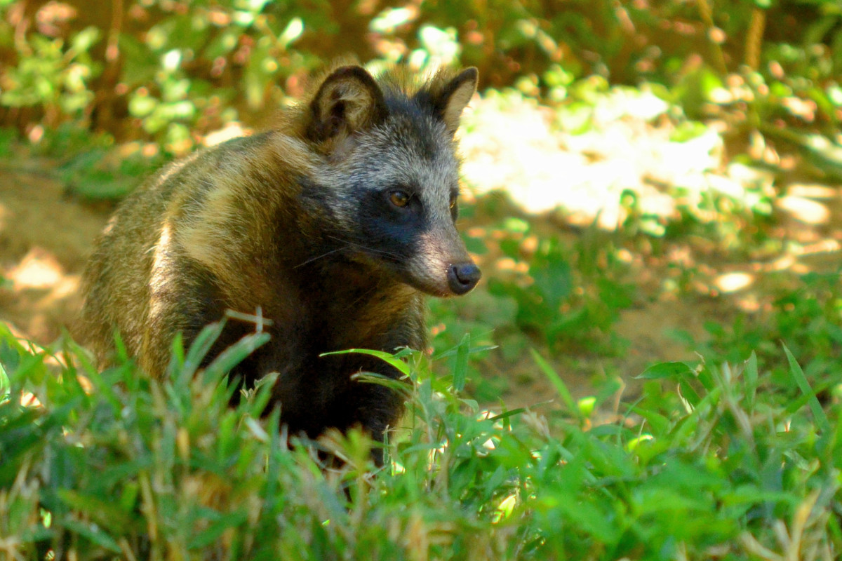 As a result of the raccoon dog's natural history, they will never be legal in the United States.