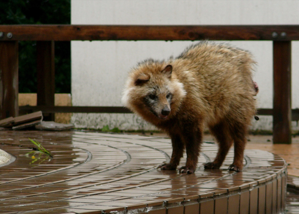 hroughout Europe and parts of Russia, raccoon dogs (Nyctereutes procyonoides) have become a prominent invasive species.