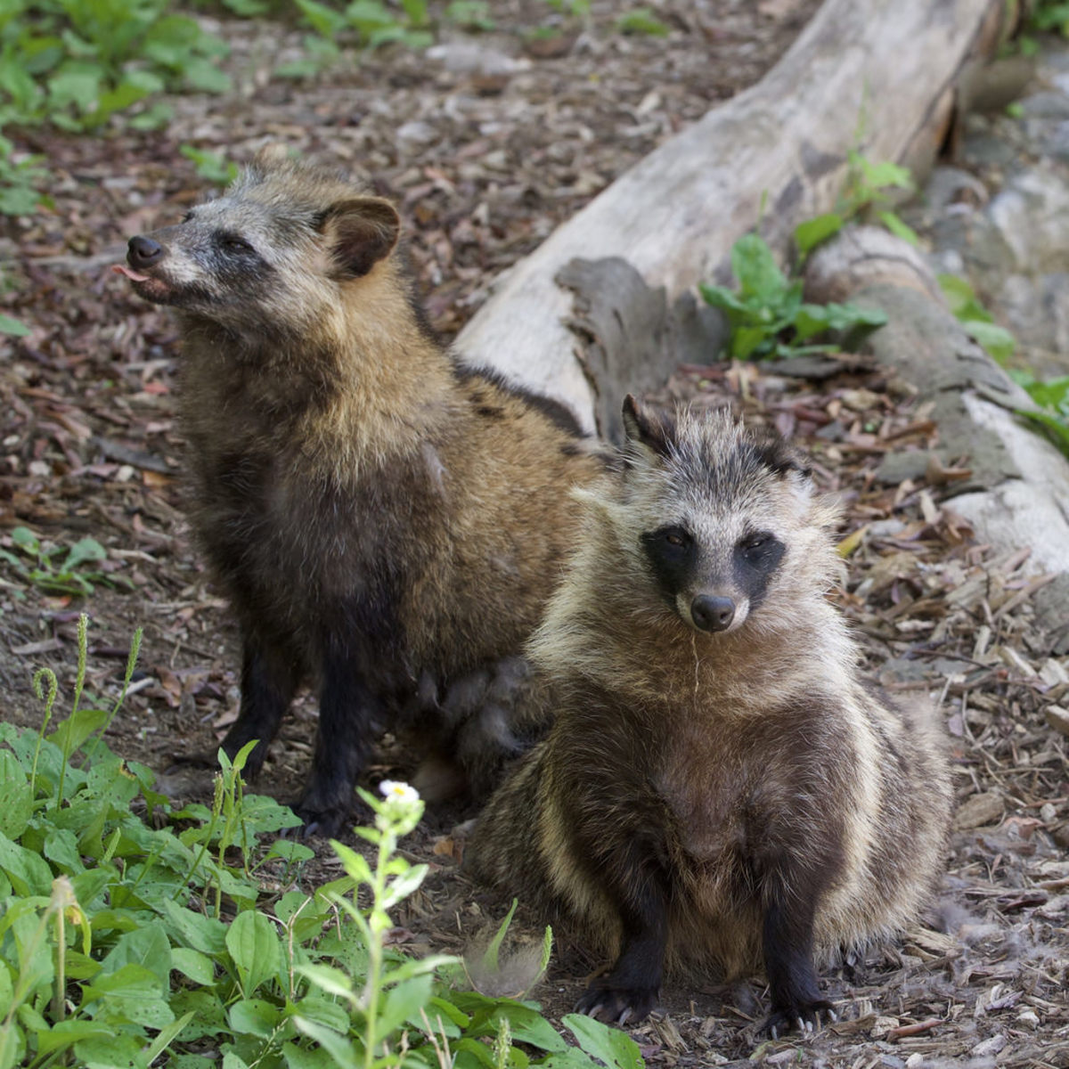 Raccoon dogs are highly adaptable and many parts of Europe and Russia mirror their home range in climate and food availability.