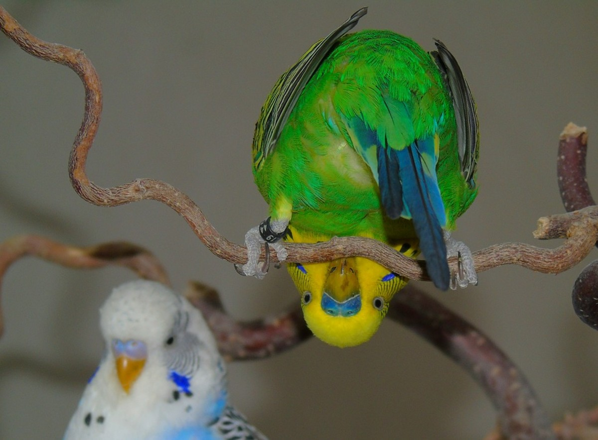 Healthy budgies are the clowns of the bird  world and bring hours of entertainment with their antics.