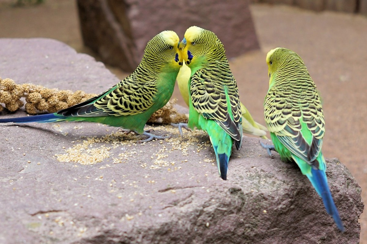 Budgies are at their happiest when bonding and grooming each other.