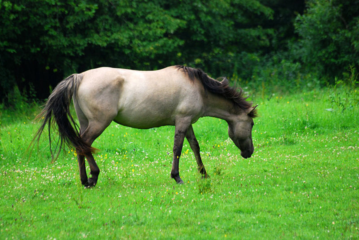 A grullo (also known as blue dun or mouse dun), the rarest equine coat color.