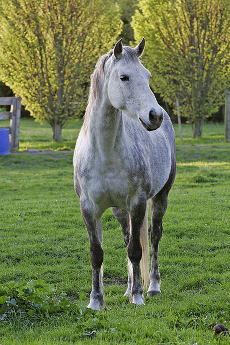 The gray gene is dominant over all other colors.