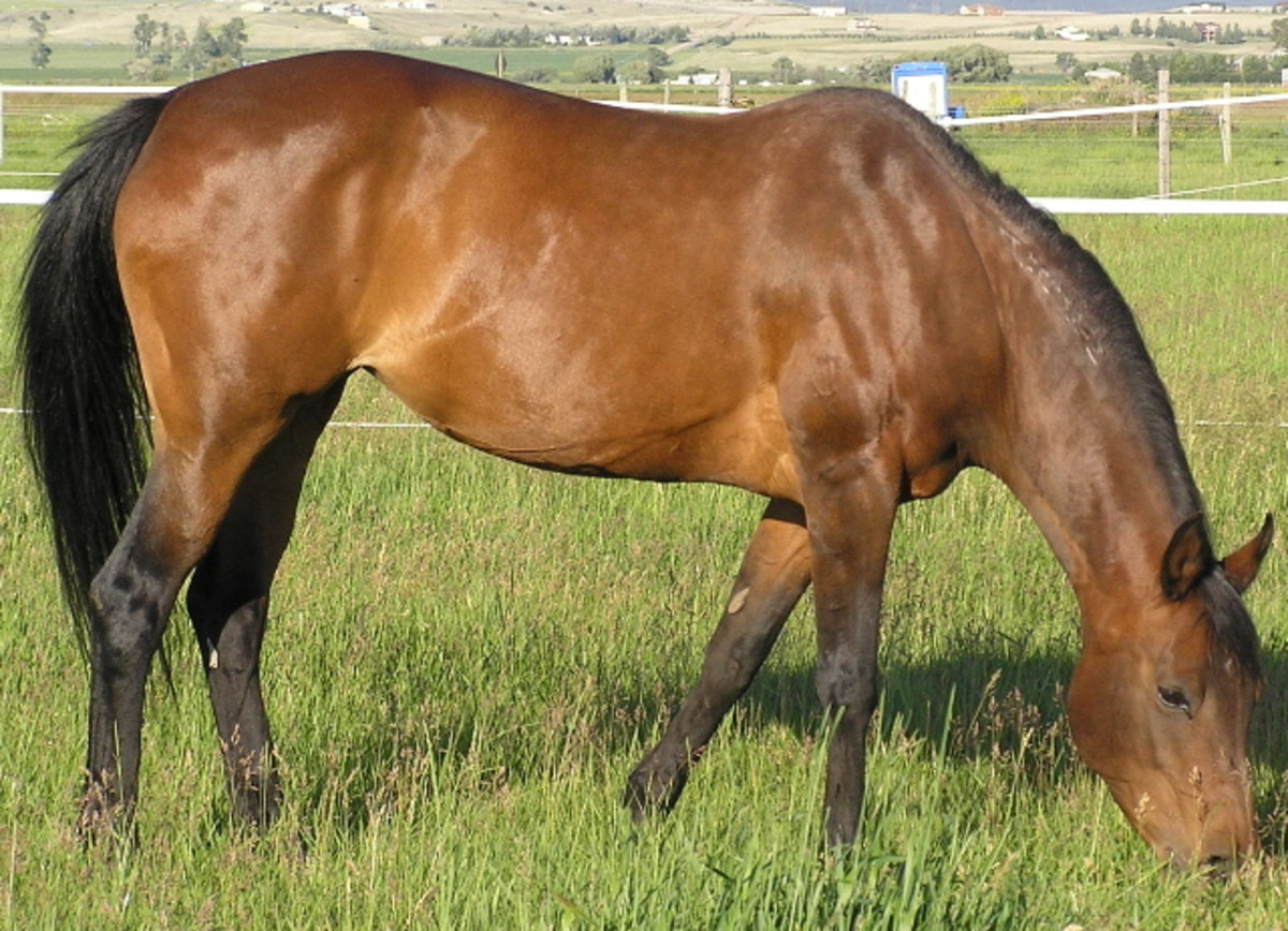 A classic bay horse. Bay is one of the three base colors.