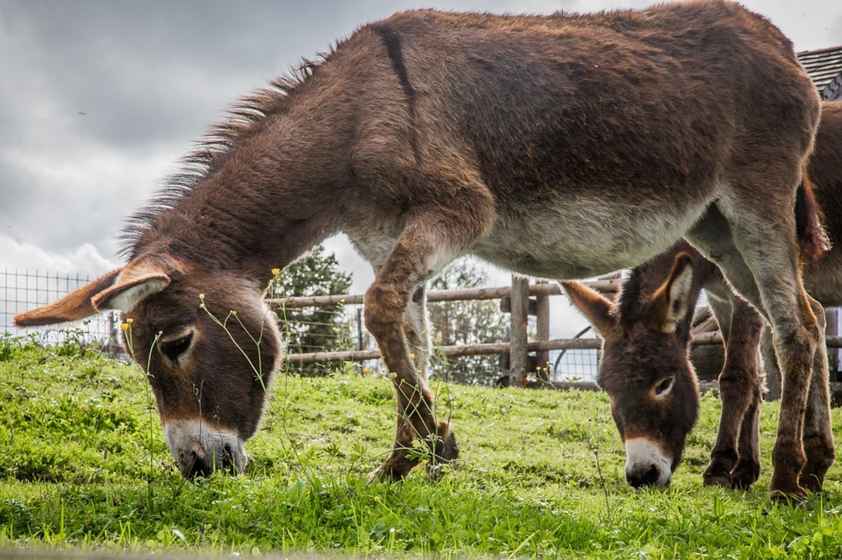 Donkeys can be kept happy in a big enclosure with companions and lots of browsing grass.