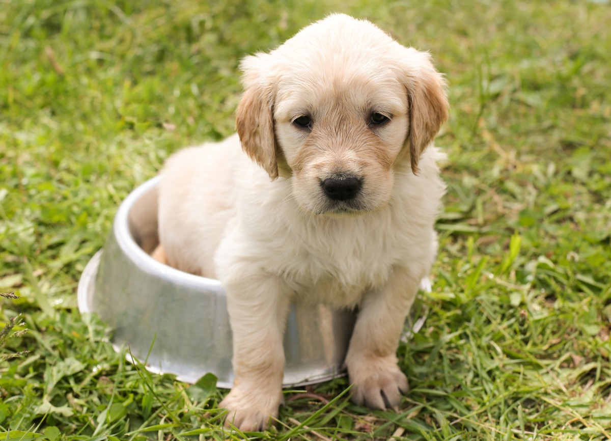 Dogs' dietary needs change with different life stages. This little puppy will need more frequent feeding now than when he's an adult dog.