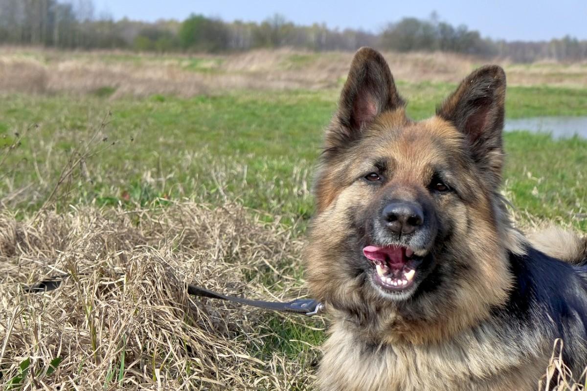 german-shepherd-teeth-cleaning-guide