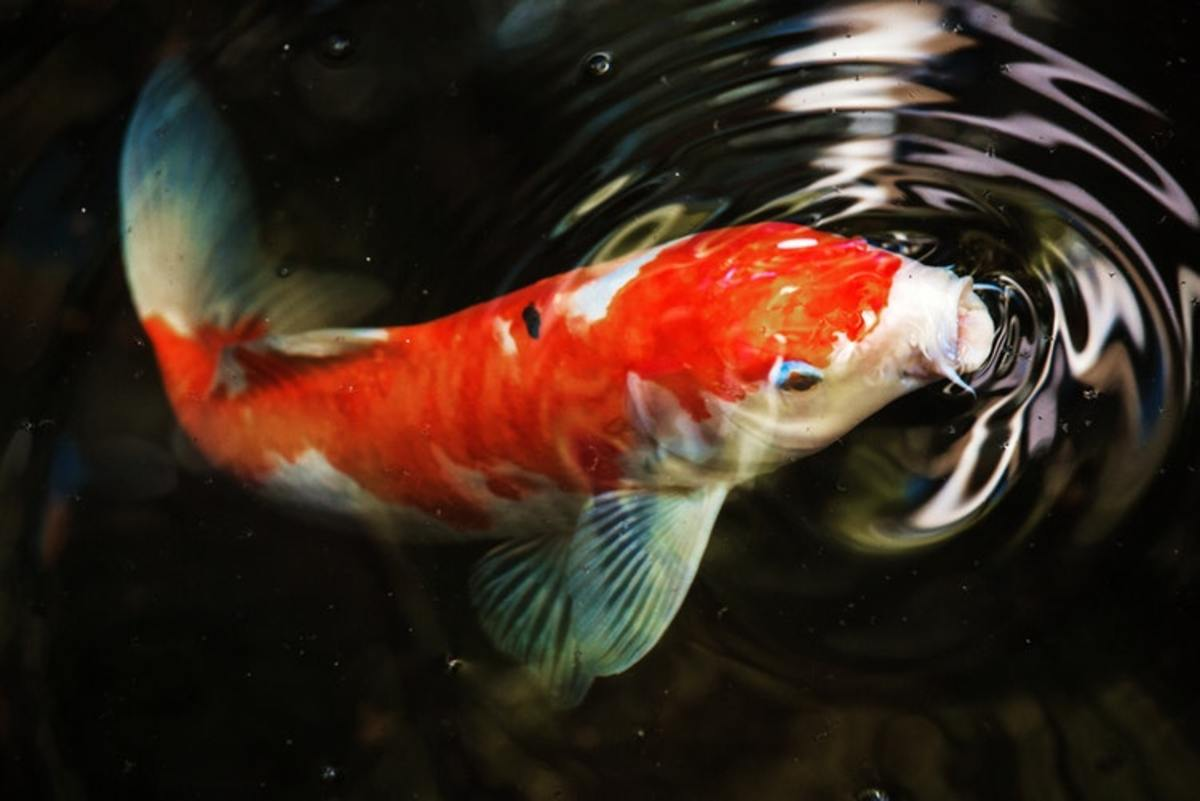 The barbels on this koi are clearly visible on either side of the mouth.