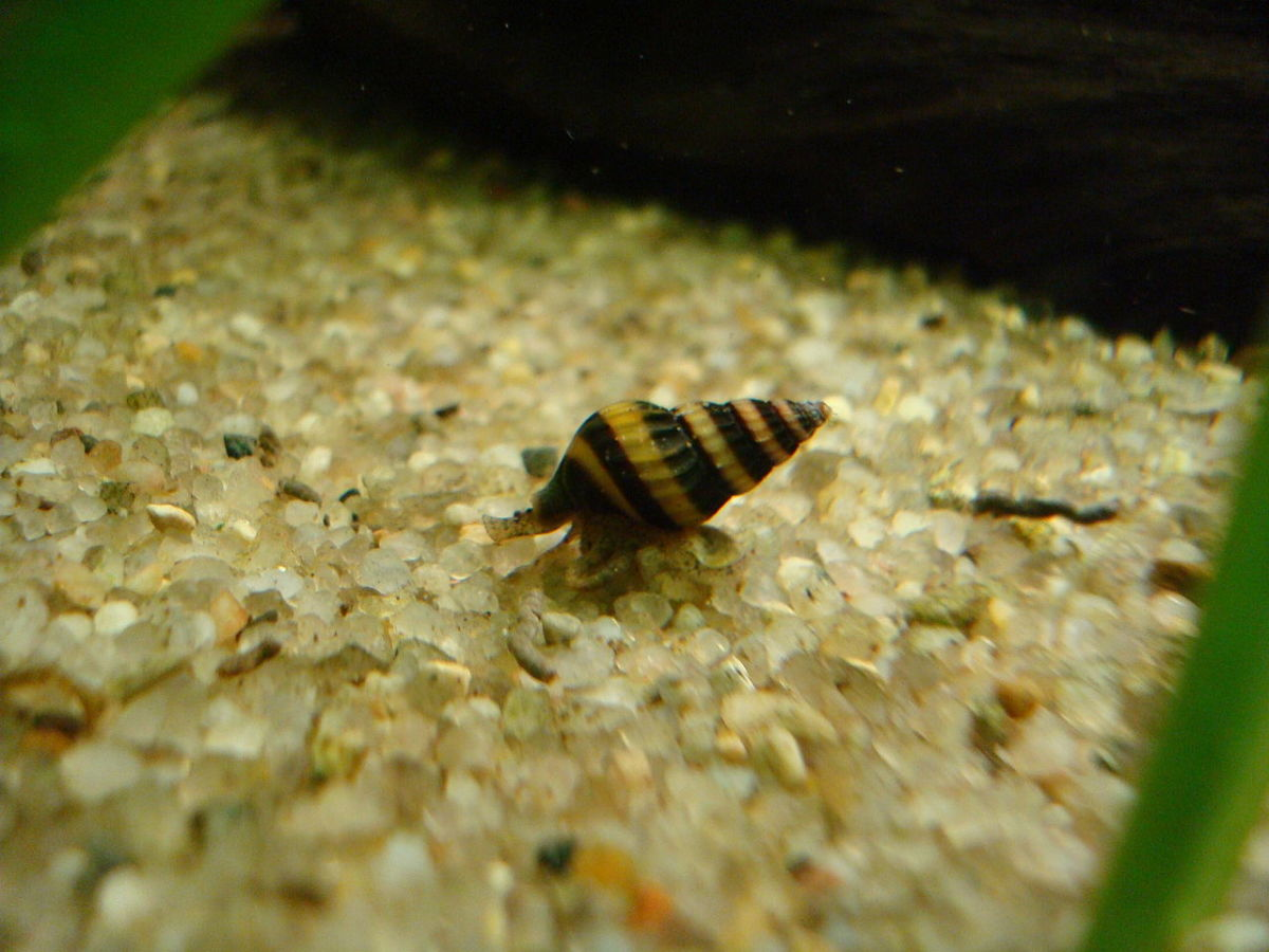 Assassin snails will hunt down pest snails in your tank.