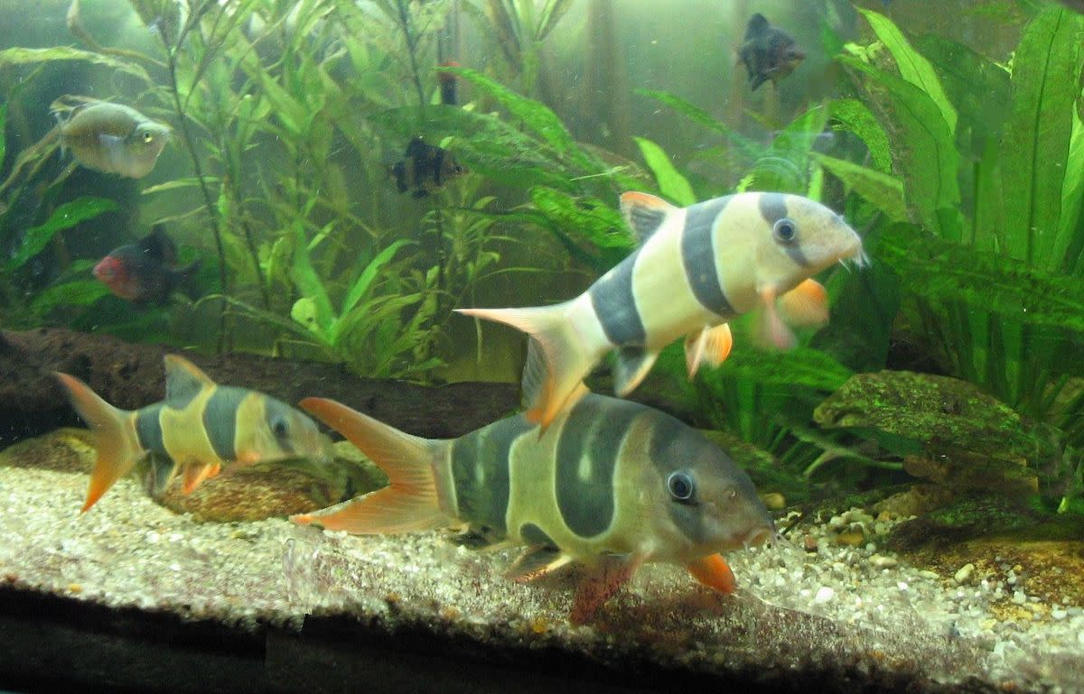 Clown loaches are fish that eat snails, but they grown too large for many home aquariums.