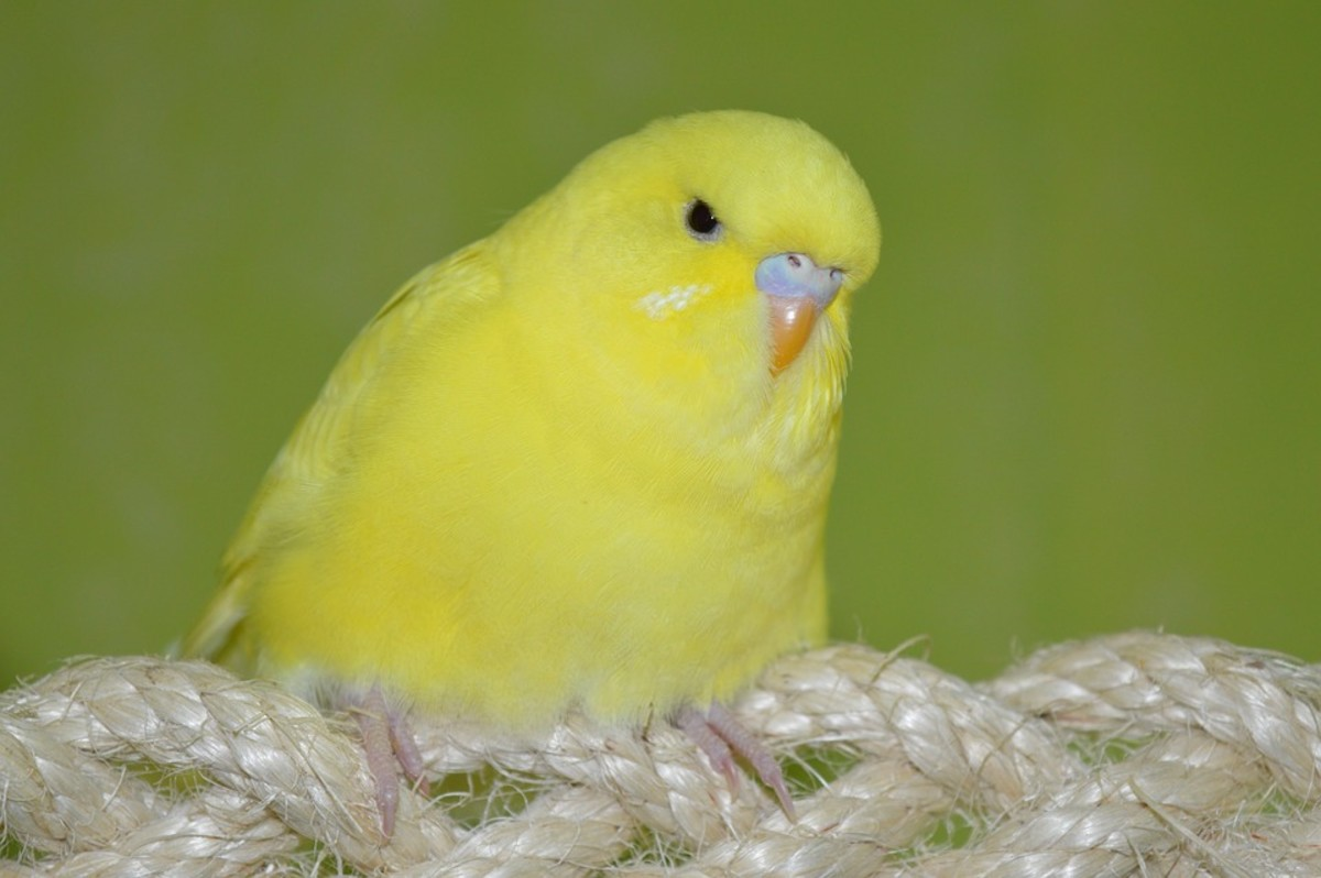 A beautiful example of a lutino budgie.