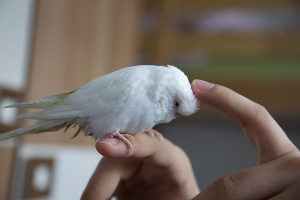 There's no reason why an albino budgie cannot enjoy human interaction. The best way to tame a budgie is with kindness and slow movements.