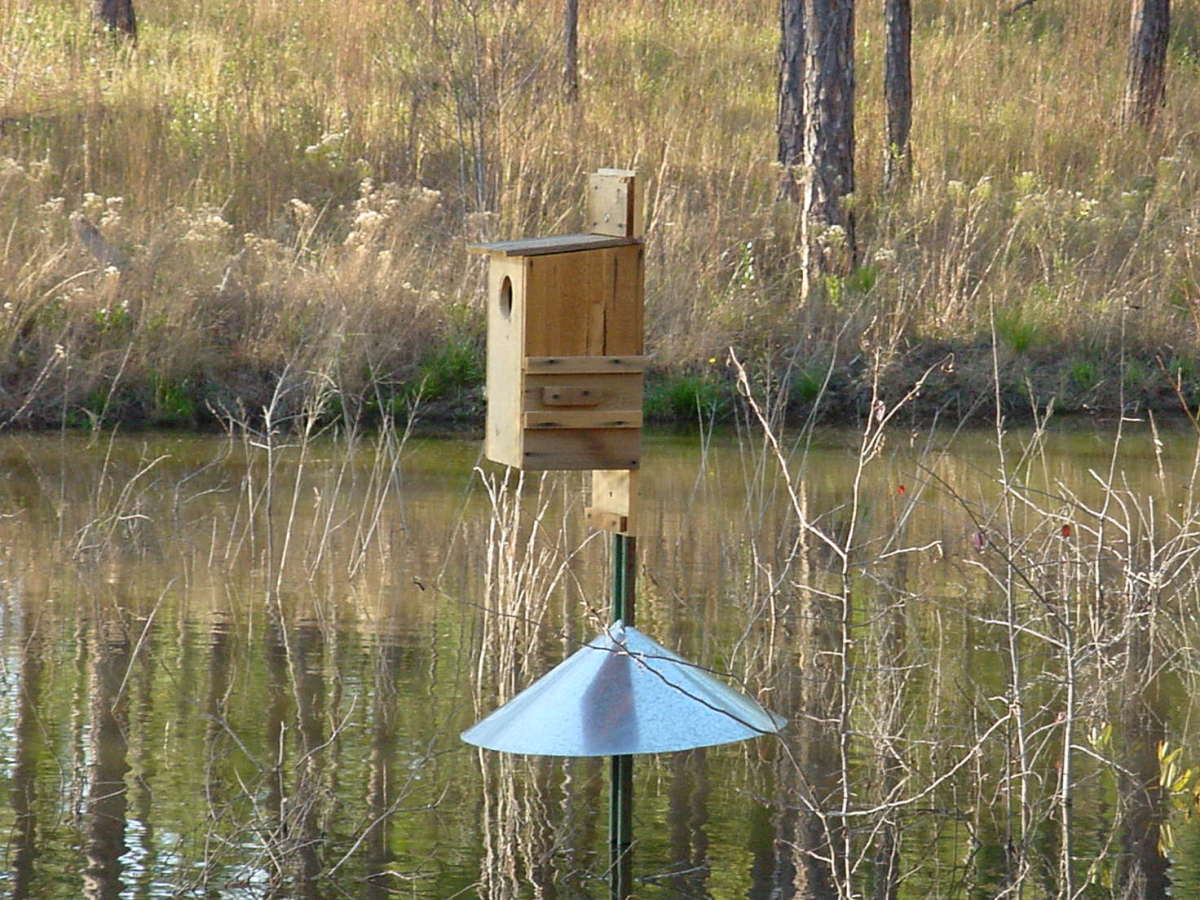 This wood duck nesting box is close enough to the water and includes a protective guard to keep predators away.