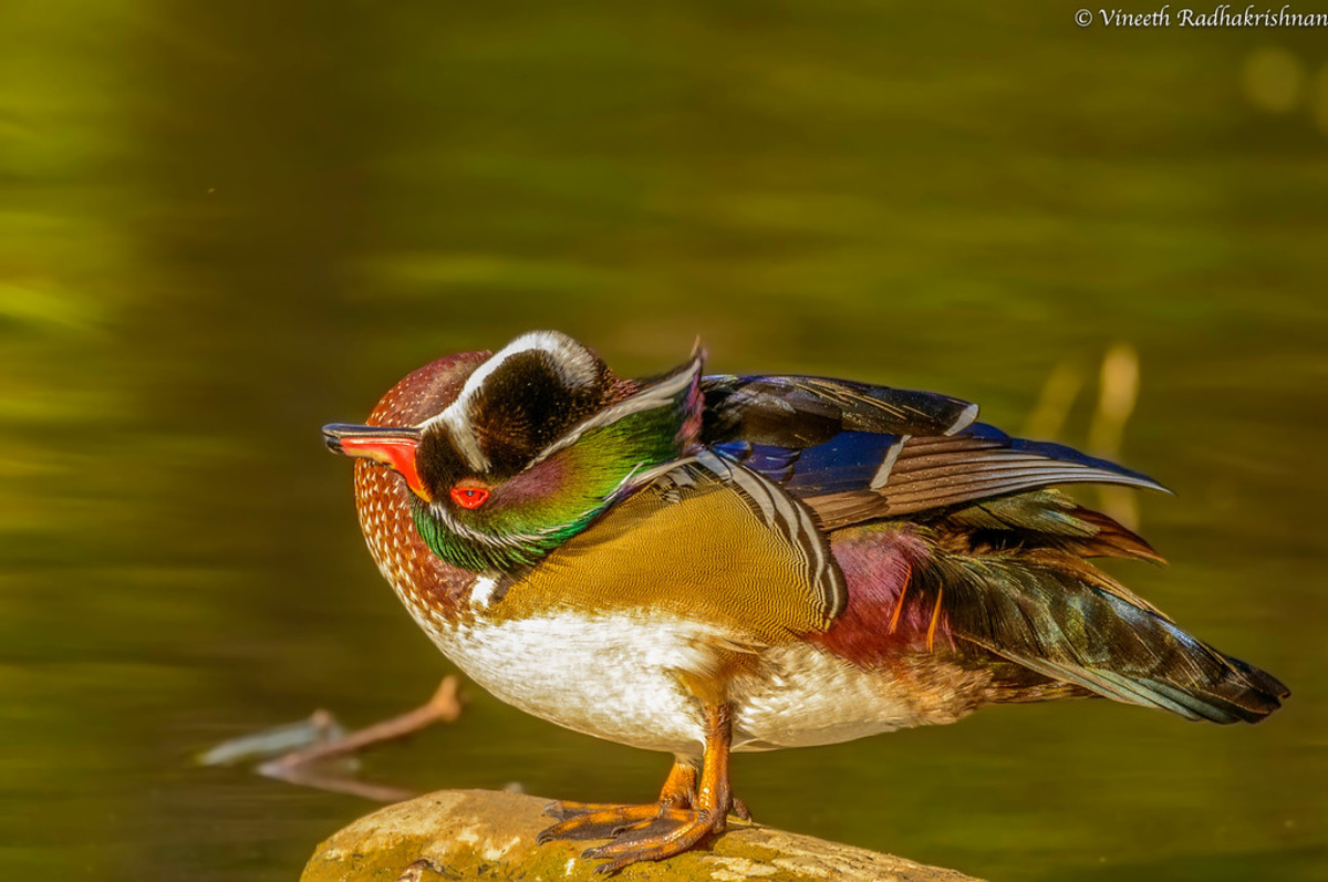 Like all ducks (I assume), wood ducks are able to get into the most uncomfortable-looking positions.