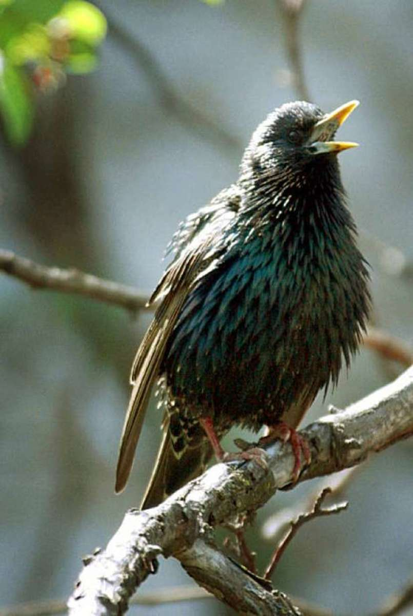 Starlings post a real threat to wood ducks.  The female will build her nest on top of the one built by the wood duck, essentially taking over the nesting area.  When the wood duck hen tries to return to her nest, she is often physically attacked.