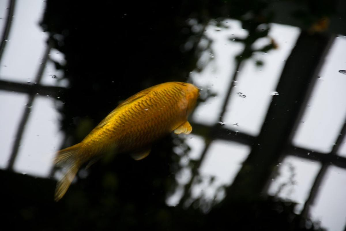 Keep your indoor koi away from windows and rather supply them with full spectrum light beams.