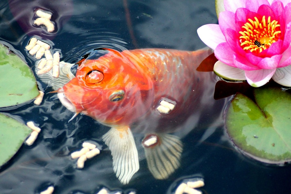The beauty of a koi pond is enhanced when you add suitable plants and even statues.