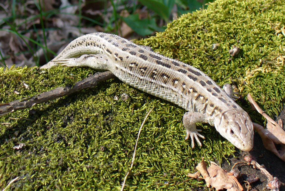 names-for-a-pet-lizard