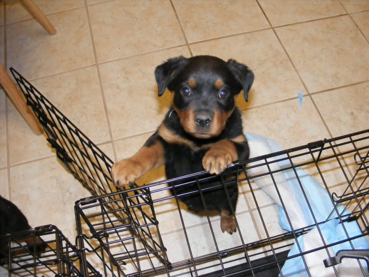 Crates work well for short-term confinement. Here is my male pup (Kaiser) by his crate.