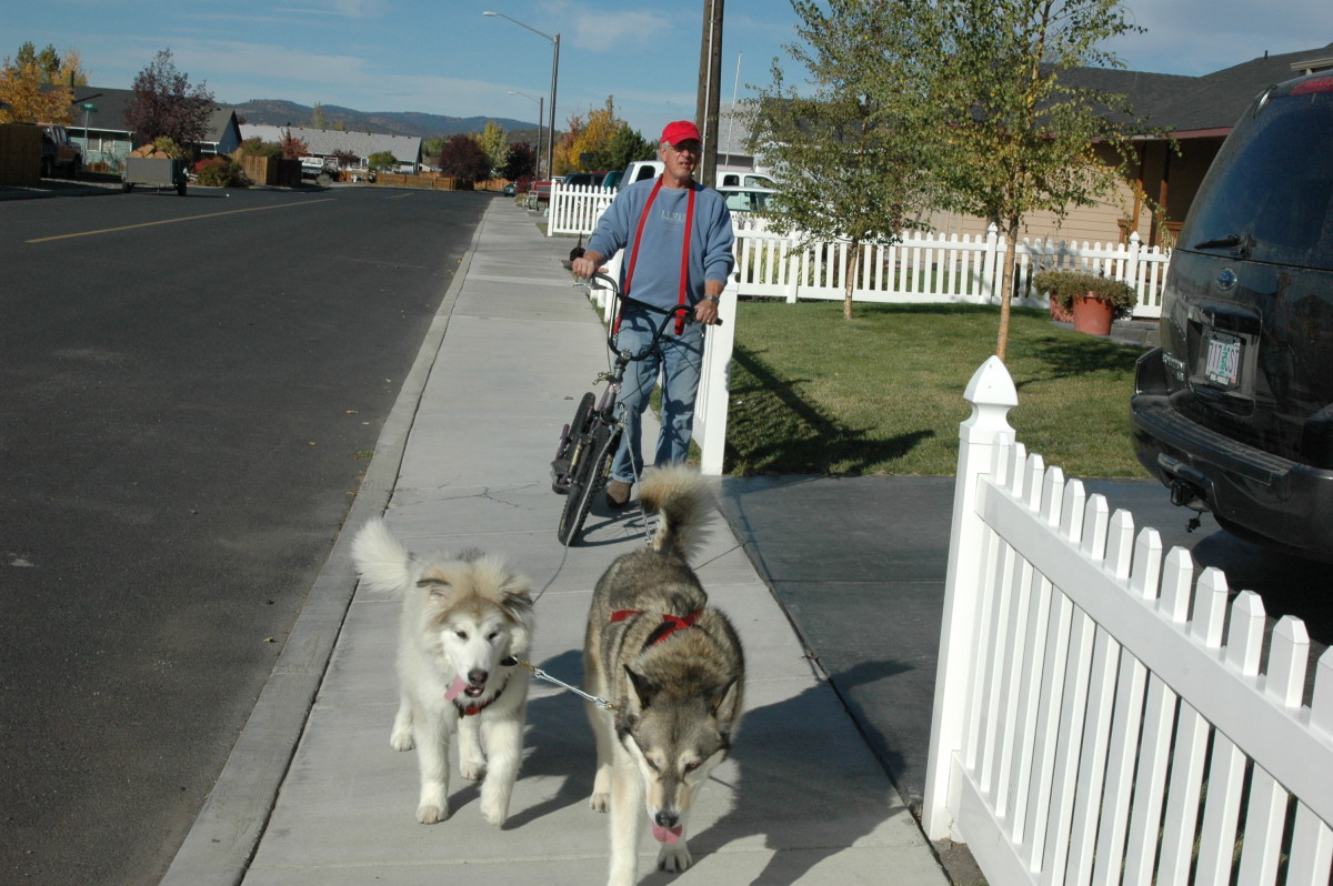 Griff and Denaya walk training as a prelude to scootering.