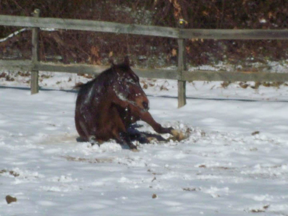 If your horse can frolic in the snow like this with no problems, they probably don't need a blanket.