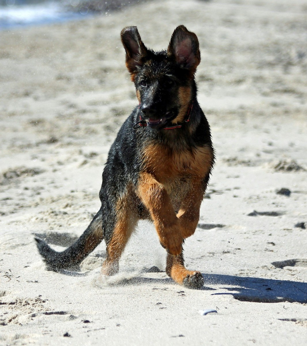 How To Housebreak A German Shepherd Puppy Pethelpful