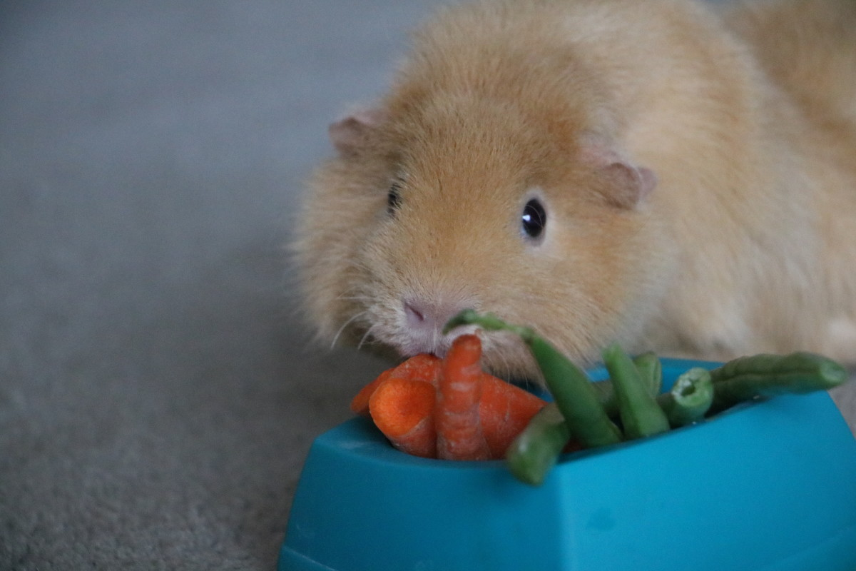 Our pet Ruthie enjoys a rare treat of carrots and green beans. The high sugar content in carrots, along with calcium requires this food to be given sparingly. Green beans contain vitamin C, a nutrient all cavies need.