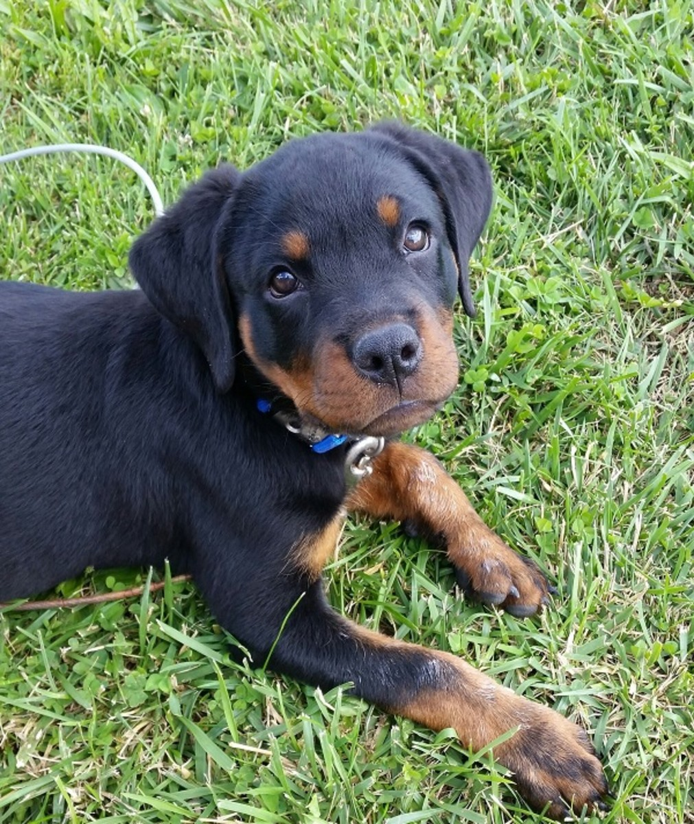 puppy-checklist-all-you-will-need-when-getting-a-puppy