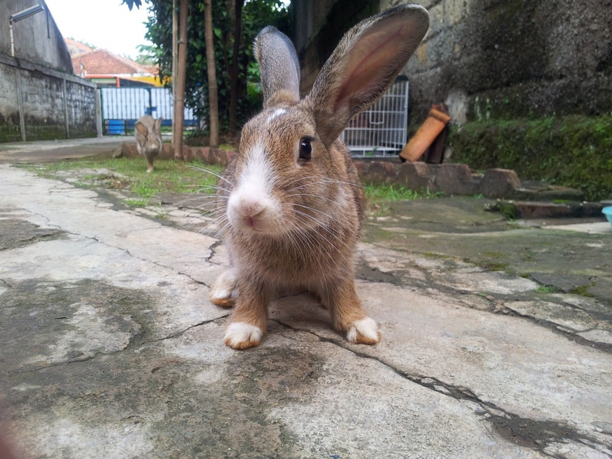 It may sound outlandish, but domesticated rabbits make up a good percentage of stray urban animals.