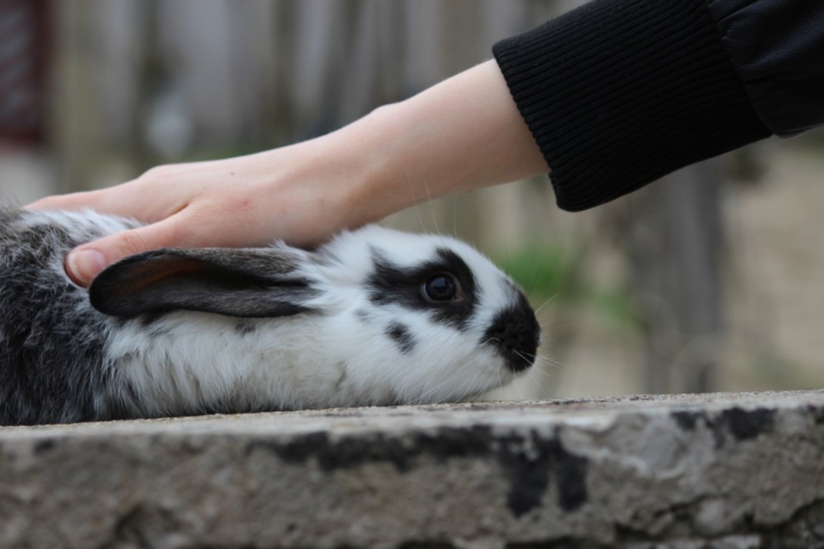 The rabbit willing, lavish a little attention on him or her. This tests the animal's temperament and could be enjoyable for both of you.